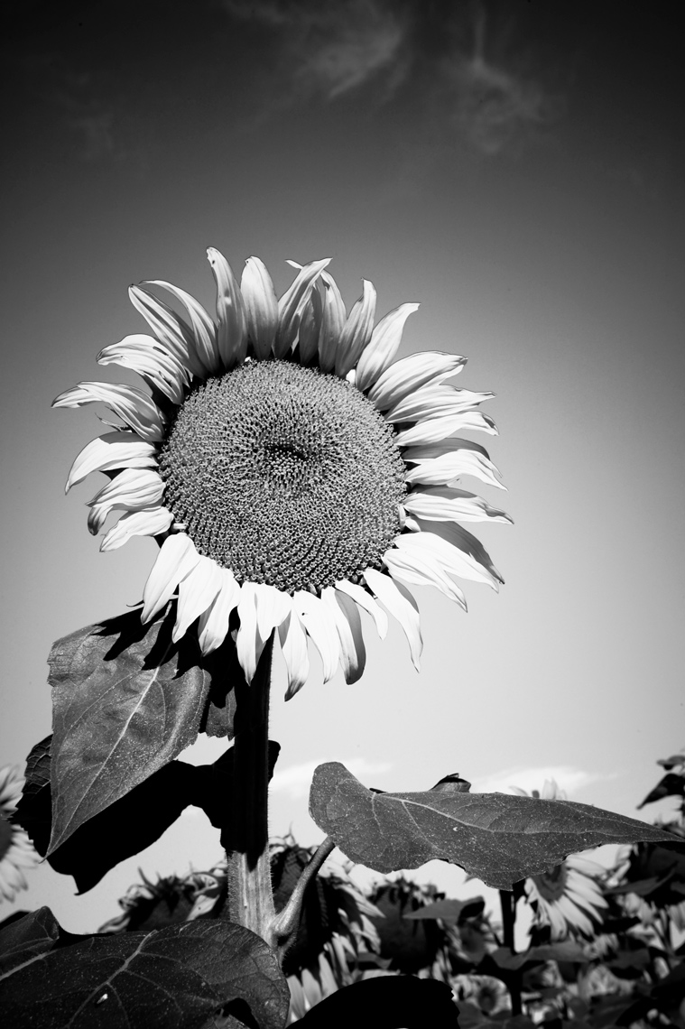 2-SunFlower1