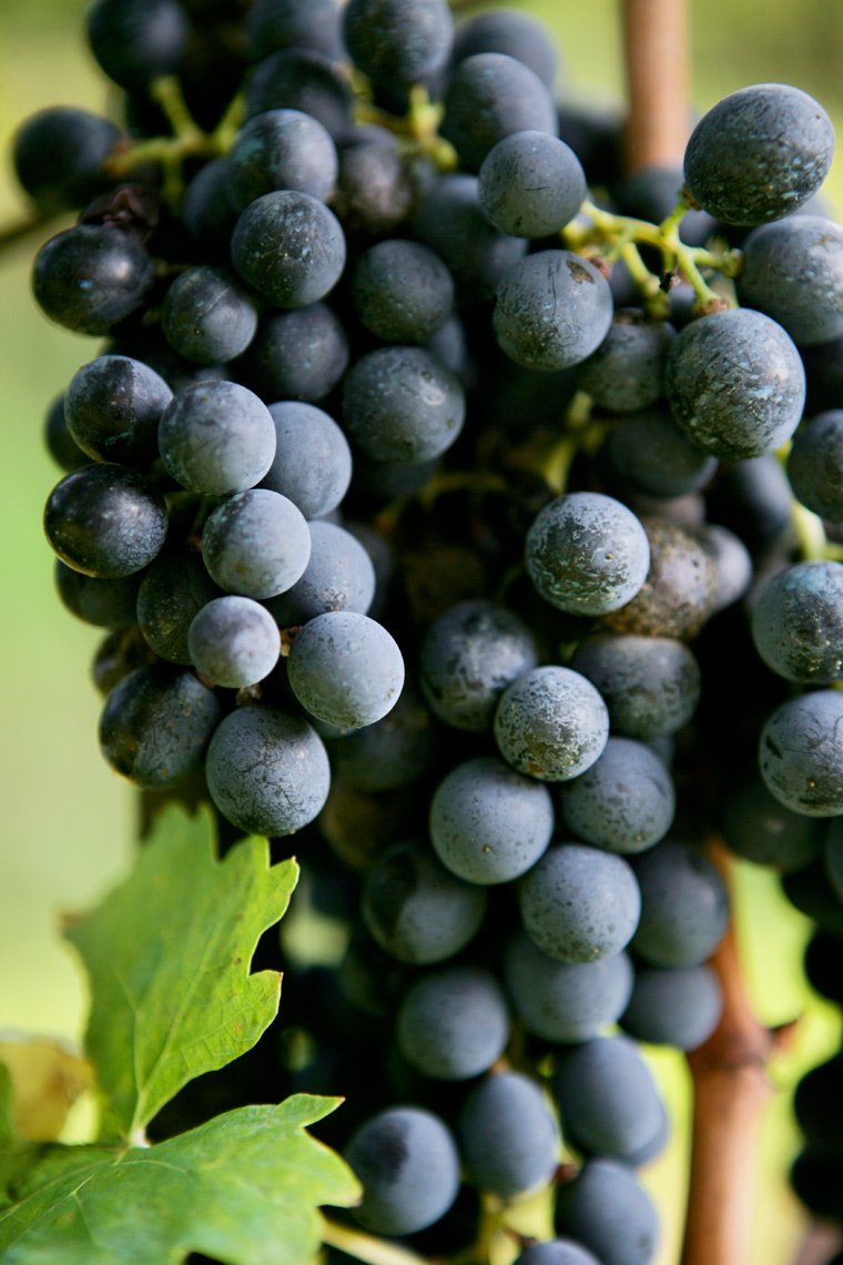 5-VineyardGrapes